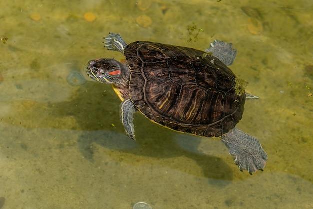 La petite tortue flotte dans la rivière par une chaude journée d'été Photo Premium