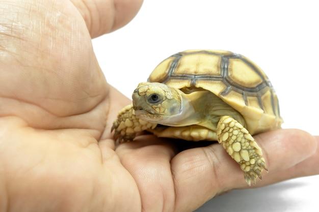 Petite tortue sur la main isolée sur fond blanc. Photo Premium