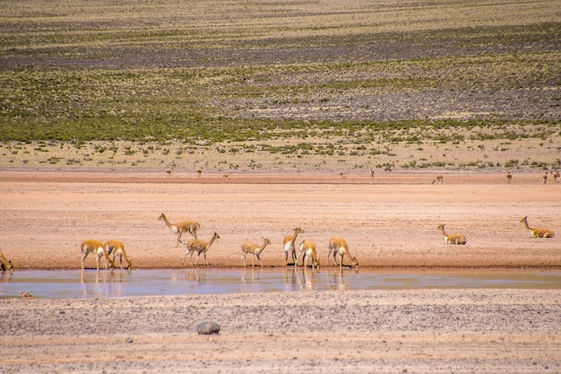 Petites Antilopes L'eau Potable Du Lac Tout En Se Tenant Dans Une Vallée Déserte Photo gratuit