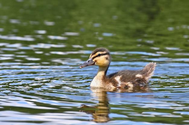 Petits Canards Sur Un étang. Pateaux à Volants. (anas Platyrhynchos) Photo Premium