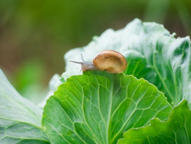 Les petits escargots rampent sur les feuilles de légumes pendant la pluie. Photo Premium