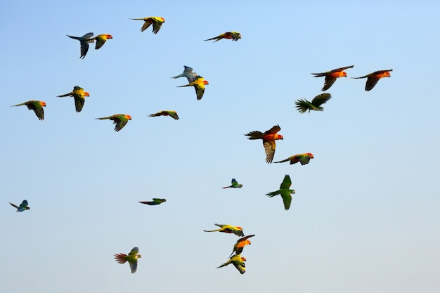 Petits perroquets colorés volant dans le ciel. Photo Premium