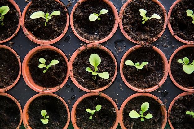 Petits plants en terre noire dans des pots marron sur la table. Photo Premium
