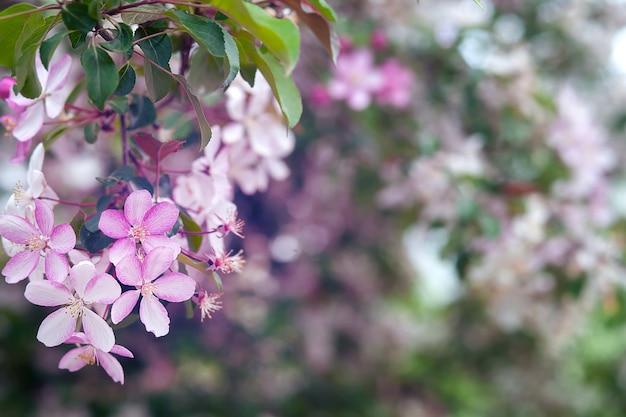 Photo de fleurs épanouies sur les branches des pommiers, gros plan de fleurs roses Photo Premium