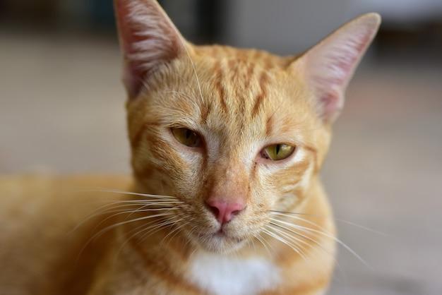 Photo en gros plan du chat brun joli chat brun. portrait d'un chat tigré triste. Photo Premium