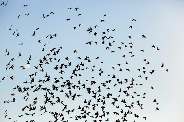 Photographié En Gros Plan Ciel Bleu, Dans Lequel Une Volée D'oiseaux Qui Volent, Silhouettes Visibles, De Jour, Photo Premium