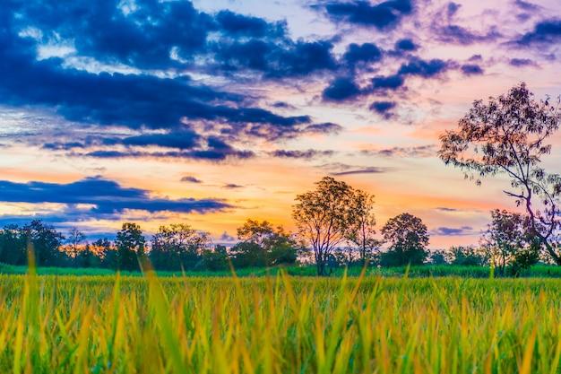 Photos de rizières. Photo Premium