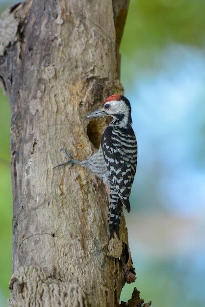 Pic à Poitrine De Rousseur (mâle) Prenez Soin De Bébé Oiseau Photo Premium