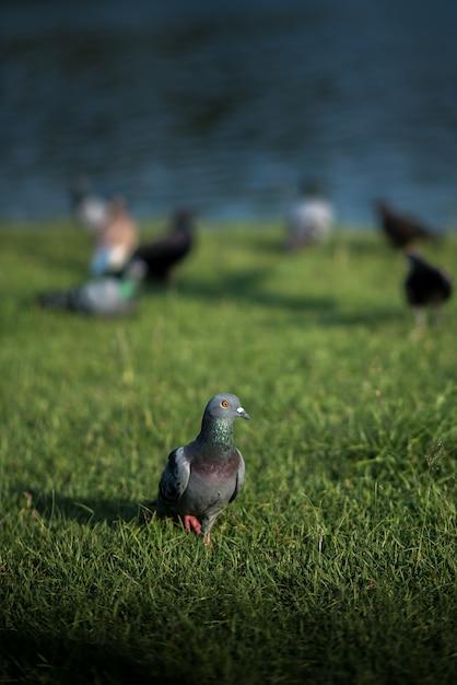 Pigeon au sol avec dalight Photo Premium