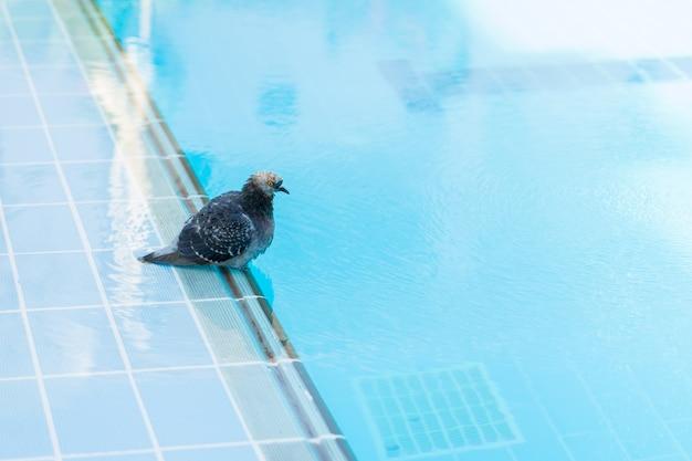 Pigeon lavé et eau potable à la piscine d'un hôtel d'egypte Photo Premium