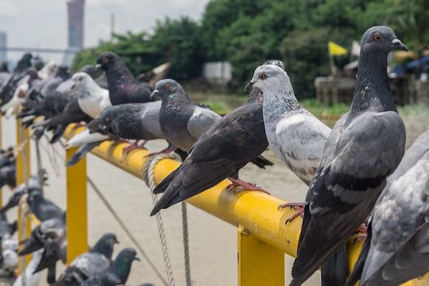 Pigeon oiseau sur fond extérieur, pigeons au port. Photo Premium