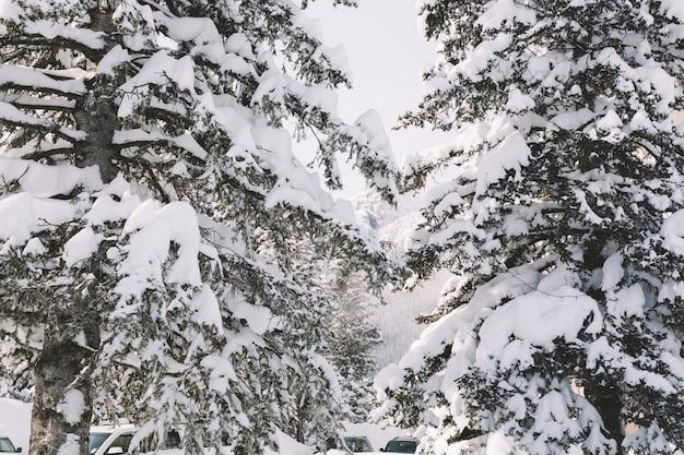 Pins couverts de neige Photo gratuit