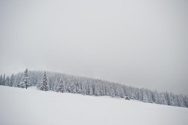 Pins Recouverts De Neige Sur La Montagne Chomiak, Beaux Paysages Hivernaux Des Carpates, Ukraine, Nature De Givre, Photo Premium
