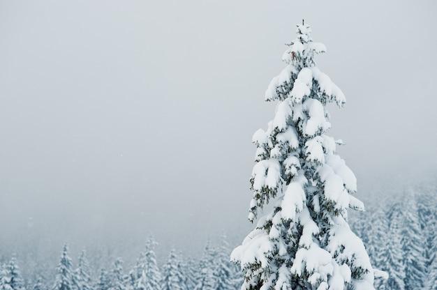 Pins Recouverts De Neige Sur La Montagne Chomiak, Magnifiques Paysages Hivernaux Des Carpates, Ukraine, Nature Majestueuse Du Givre, Photo Premium