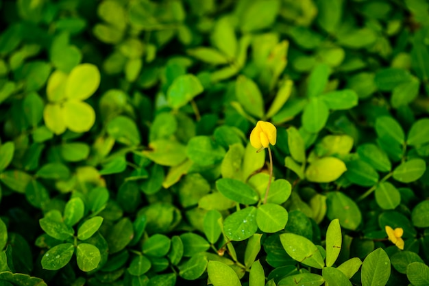Pinto cacahuète, petite fleur jaune Photo Premium
