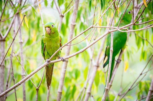 Pionus Maximiliani, Alias Maritaca. Un Oiseau Très Commun Dans La Campagne Brésilienne Photo Premium