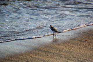 Piper au bord de la mer Photo gratuit
