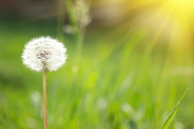 Pissenlit dans la nature avec la lumière solaire Photo Premium
