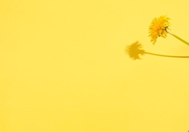 Pissenlit Sur Fond Jaune Avec Des Ombres Dures. Concept De Saisonnalité, Printemps. Mise à Plat, Espace De Copie, Place Pour Le Texte. Photo Premium