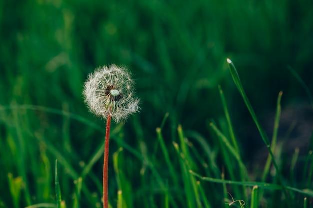 Pissenlit moelleux blanc sur un fond d'herbe vert émeraude. fragile. Photo Premium