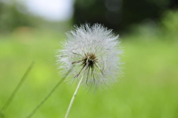 Pissenlit moelleux, fleur de dent de léon, taraxacum, dent de lion Photo Premium