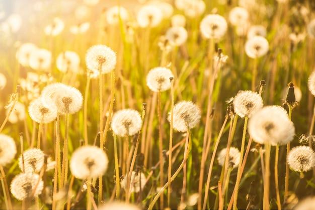 Pissenlits poussant sur un grand champ en journée ensoleillée Photo gratuit