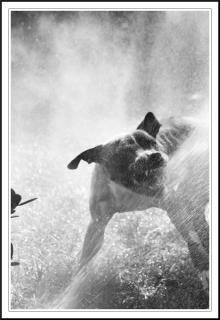 Pit-bull attaquer l'eau Photo gratuit