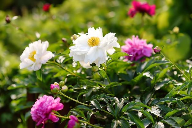 Pivoines fraîches fraîches de fleurs blanches et blanches dans le jardin. Photo Premium