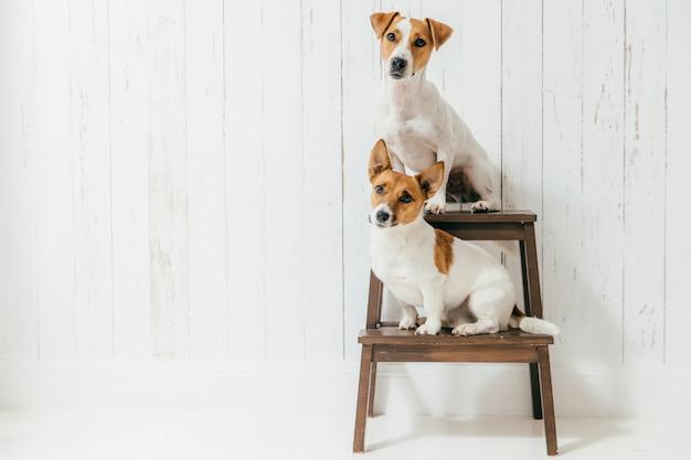 Plan horizontal de deux chiens de jack russell terrier assis sur une chaise et écoutant attentivement les hôtes Photo Premium