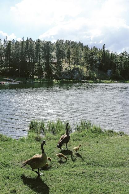 Plan Vertical De Deux Canards Avec Des Canetons Debout Sur L'herbe Près De L'eau Photo gratuit