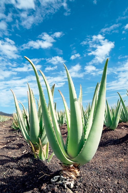 Plantation D'aloe Vera Sur Furteventura Photo Premium