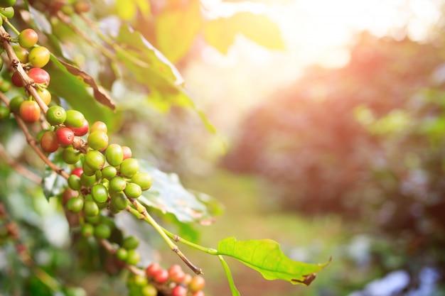Plantation de café Photo Premium