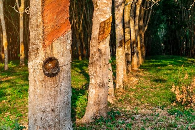 Plantation d'hévéa ou caoutchouc d'arbres dans le sud de la thaïlande Photo Premium
