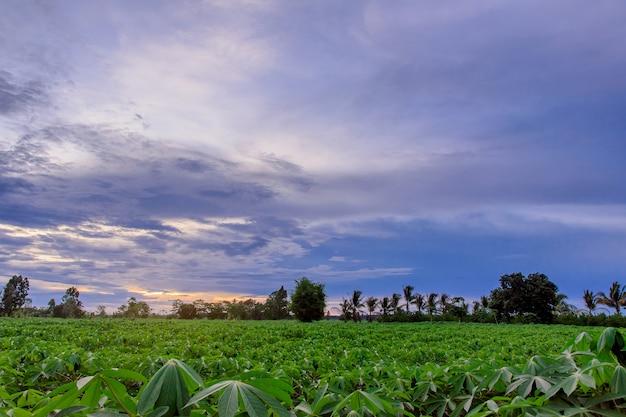 Plantation de manioc avant la récolte. Photo Premium