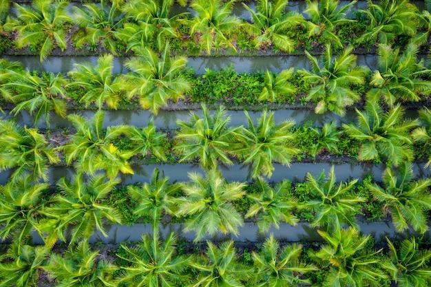Plantation de palmiers à huile ou champ agricole de noix de coco en thaïlande Photo Premium
