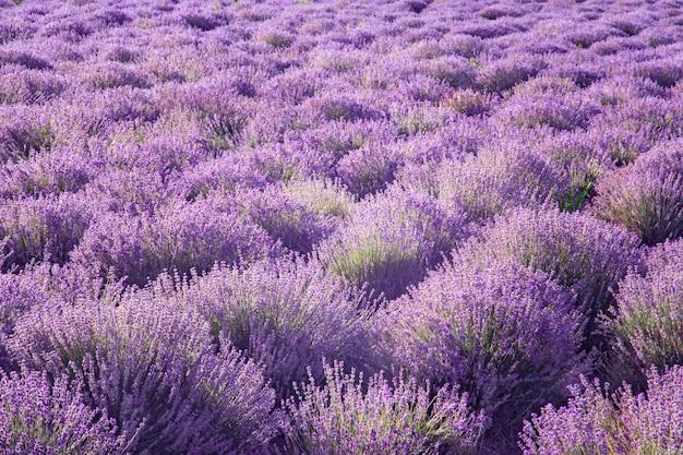 Plantation Pour La Culture D'une Plante Médicinale Et Aromatique De Lavande Pour La Production D'huiles Photo Premium