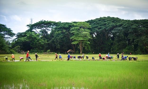 Plantation de riz dans l'agriculture asiatique de saison des pluies Photo Premium