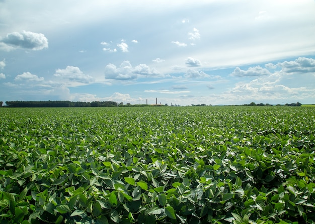 Plantation de soja Photo Premium