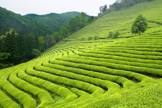 Plantation De Thé En Corée Du Sud (les Arbustes Vert Vif Sont Pour Le Thé Vert). Photo gratuit