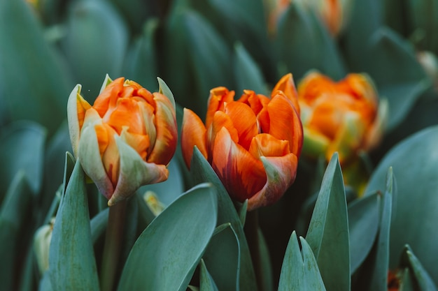 Plantation de tulipes en serre Photo Premium