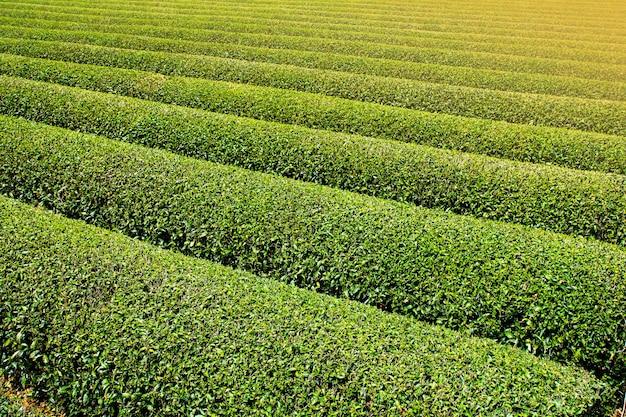 Plantations de thé disposées en belles rangées Photo Premium