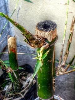 Plante De Bambou Photo gratuit