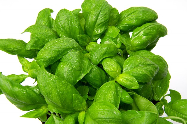 Une plante de basilic Photo Premium