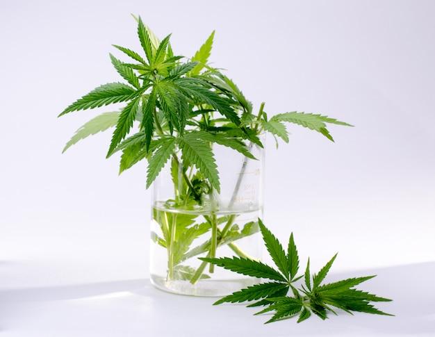 Plante de cannabis laisse dans la fiole de laboratoire isolée on white Photo Premium