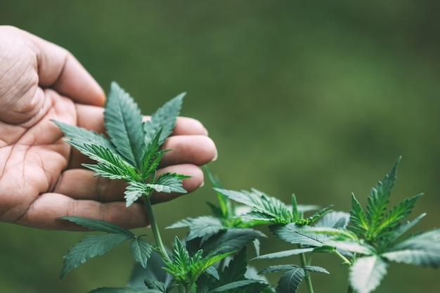 Plante De Cannabis Photo gratuit