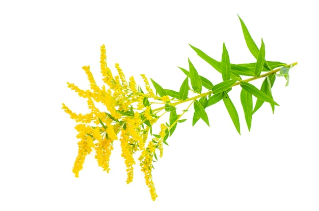 Plante à Fleurs Jaune Solidago, Mauvaise Herbe. . Photo Premium