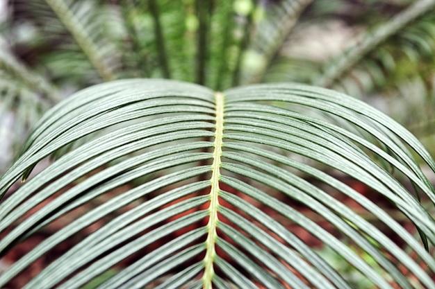 Plante d'intérieur jeunes feuilles vertes élégantes de palmier domestique à l'intérieur. plantes tropicales et arbres. Photo Premium