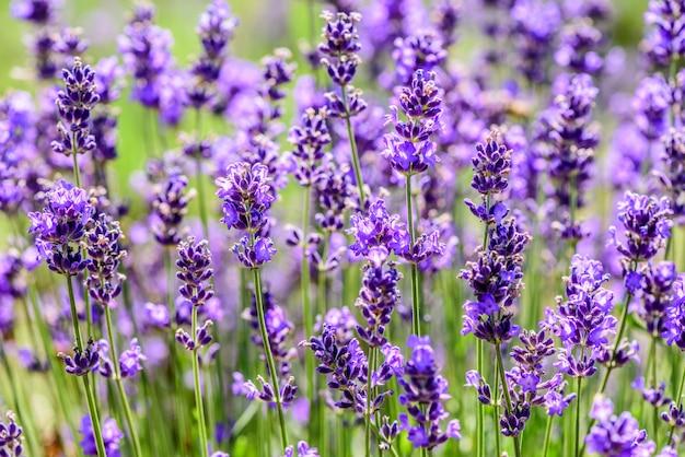 Plante de lavande poussant dans un champ en été Photo Premium