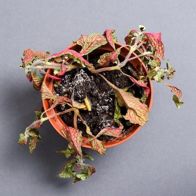 Plante morte dans un pot fittonia. sur un fond gris. Photo Premium