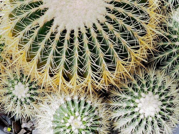 Plante succulente, echinocactus grusonii plante succulente Photo Premium